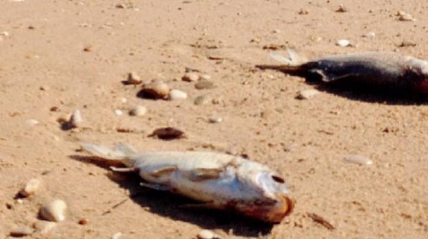 foce del platani, moria di pesci, Agrigento, Vita
