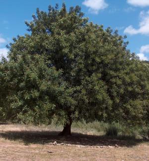 Carrubi iblei sotto attacco, tronchi divorati dai coleotteri: l'emergenza parte da Scicli