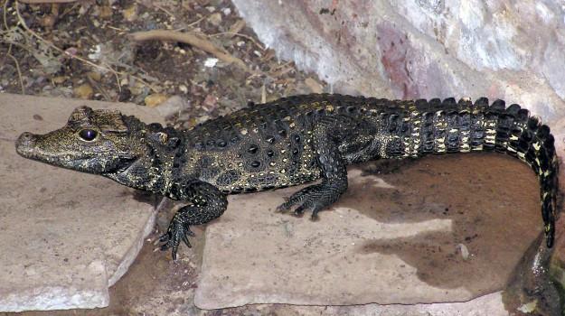 coccodrillo nano africano, Osteolaemus tetraspis, Sicilia, Animali, Vita