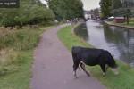 """""""Eccesso di zelo"""" di Street View, Google offusca i volti delle mucche"""