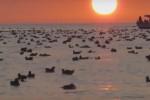 """""""Corti d'Amare"""", trionfa Turriaki: il documentario sul volatile marino Berta"""