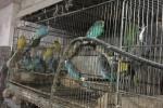 Trovato allevamento abusivo di pappagalli: sequestrati 181 esemplari