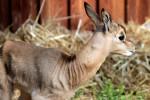 Nasce per la prima volta in Italia una gazzella Mhorr