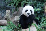 Addio a Jia Jia, muore a 38 anni il panda gigante più vecchio del mondo