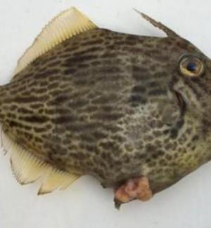 Pescati nel Ragusano 4 esemplari di un pesce rarissimo