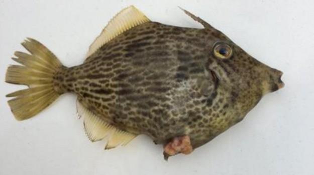 pesce, ragusano, raro, Ragusa, Società