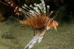 Pesce scorpione nel Mediterraneo, l'allarme della Capitaneria di Mazara