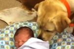Labrador calma il bimbo che piange: la scena commuove il web - Video