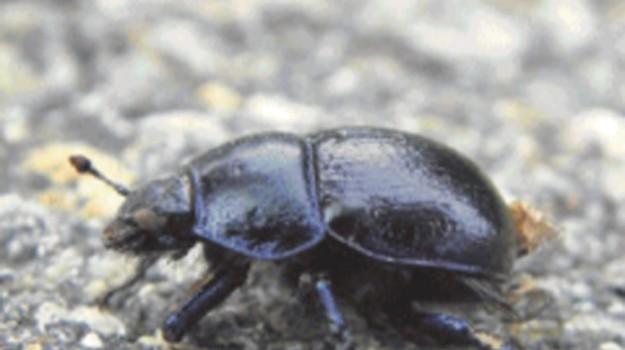 METANO, scarabeo, Sicilia, Animali, Vita
