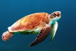 Una tartaruga marina depone le sue uova sulla spiaggia di Menfi