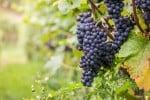 Produzione super di uva e arance nelle campagne agrigentine