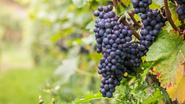 uva, Vino, Sicilia, Economia