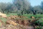 Aranceti distrutti, danni a Ribera per 30 milioni