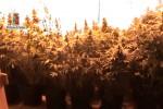 Piantagione di marijuana a Palermo, giovane in manette - Video