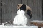 Panda gioca col pupazzo di neve: il video che diverte il web