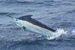 Catturata nel mare di Salina un'aguglia record di 22 chili