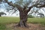 A Chiaramonte Gulfi il censimento degli olivi saraceni