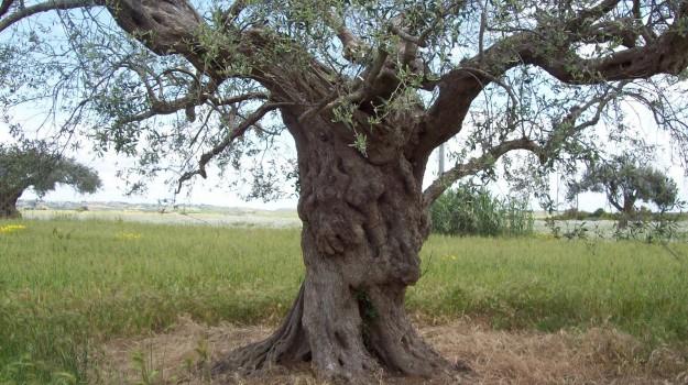 chiaramonte gulfi, olivi saraceni, Ragusa, Economia