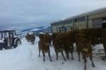 Allevamenti isolati per la neve: a Cammarata animali senza cibo - Foto