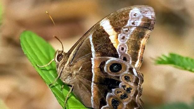 """Lepidotteri in Sicilia: a Modica arriva la """"farfalla asiatica"""""""