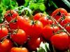 Pomodoro del Camerun in vendita nei supermercati di Pachino