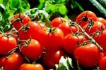 Vittoria, allarme per i virus che attaccano il pomodoro