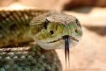 Ripreso in slow motion l'attacco di un serpente a sonagli