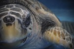 Apre il centro tartarughe più grande del Mediterraneo