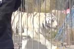 La tigre fuggita a Monreale, si rafforza la pista del sabotaggio
