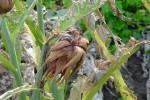 Ortaggi, coltivazioni decimate al Sud: il gelo manda in tilt le consegne