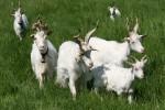 Adozioni a distanza per salvare la capra Girgentana