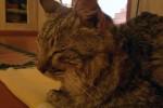 Gatto disperso da 2 anni fa 140 km e torna a casa, ma poi muore per le fatiche