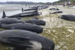 Spiaggiate in Nuova Zelanda oltre 400 balene - Foto