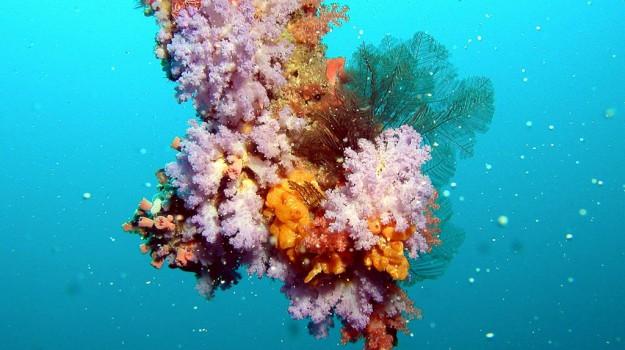 Maldive, strage di coralli, Sicilia, Vita