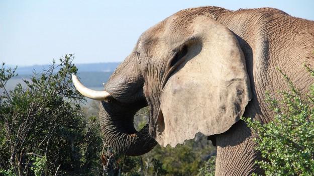 elefanti, esemplari, Sicilia, Società