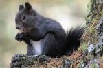 Nero con ventre bianco, scoperto in Italia lo scoiattolo meridionale