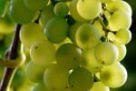 Dieta ricca d'uva arma contro l'Alzheimer