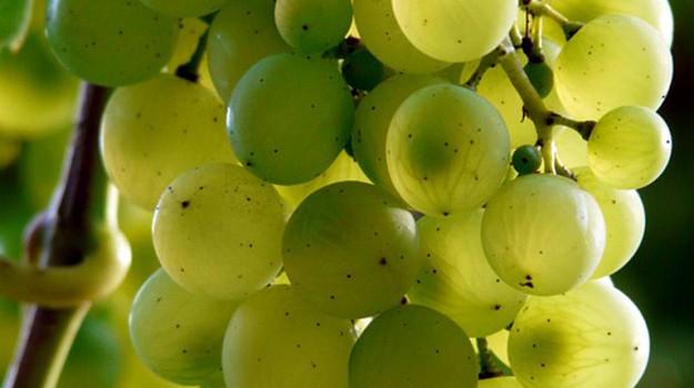 alzheimer, uva, Sicilia, Società