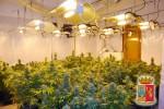 Piantagione di marijuana allo Zen, avrebbe fruttato mezzo milione