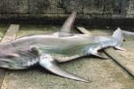 Incagliato tra le reti, squalo pescato a Castellammare