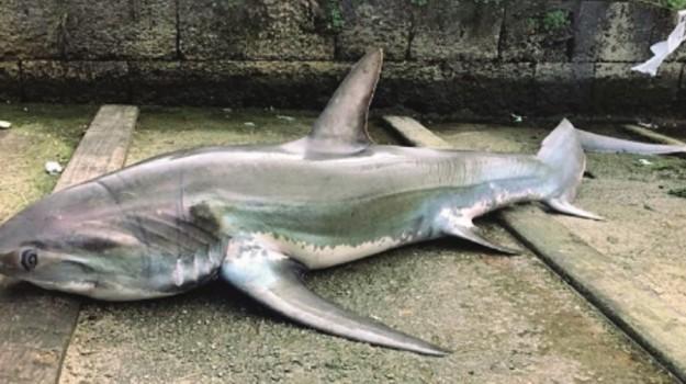 castellammare del golfo, squalo, Trapani, Animali, Vita