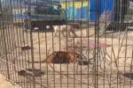 In gabbia con le tigri, si ribella il titolare del circo sequestrato - Video