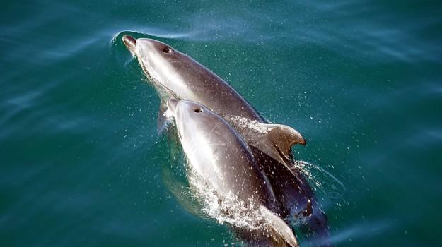 delfini, eolie, Messina, Animali, Vita