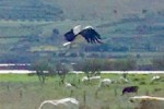 Le cicogne tornano a Sambuca, nido al Lago Arancio