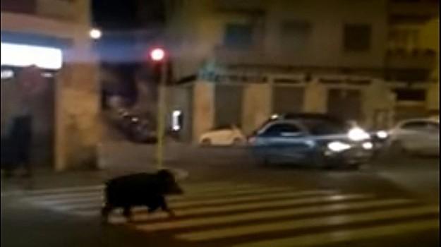 attacco cinghiali, CINGHIALI, roma, Sicilia, Cronaca