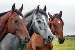 Modificato il Dna dei cavalli primitivi: colpa dell'allevamento