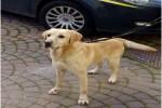 Agrigento, il cane Tasco fiuta la droga: arrestato giovane del Gambia