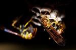 """Clima pazzo, è boom di vespe e insetti """"alieni"""": aumenta il rischio di allergie"""