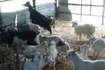 Soppresso un allevamento di capre per brucellosi a Trapani