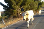 Mucche in viale Regione si scontrano con due auto, un bimbo tra i feriti